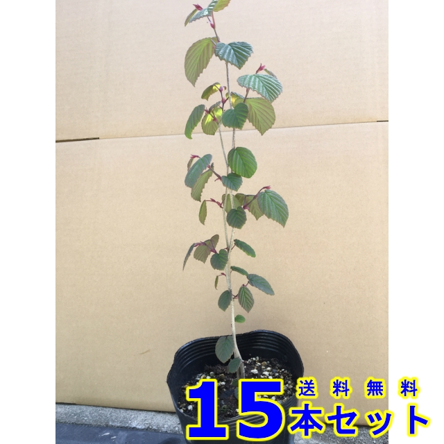 トサミズキ (土佐水木) 15.0p    樹高 0.3m前後  15本   植木 苗木 シンボルツリー 生垣