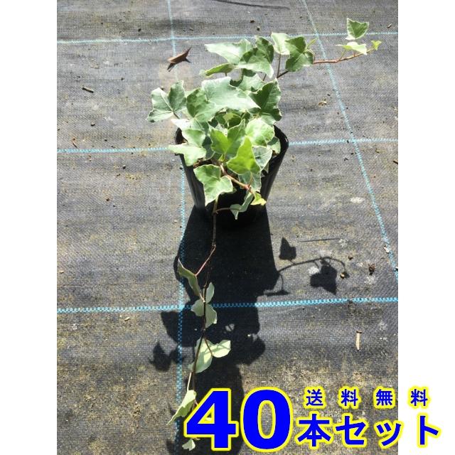 送料無料 お庭で季節の花と緑を楽しむ ヘデラヘリックス グレーシャー 斑入りセイヨウキヅタ アイビー 40本 下草 グランドカバー 雑草予防 ランキングTOP5 ふるさと割 10.5p
