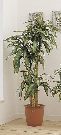 人工観葉植物 ピュアメイト 幸福の木 180cm 送料無料( 光触媒 消臭 インテリア 大型 )