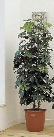 人工観葉植物 ピュアメイト カポック 180cm 送料無料 【5000円以上送料無料】