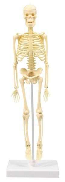 アーテック 人体骨格模型 30cm学習セット(ケース入) 93609