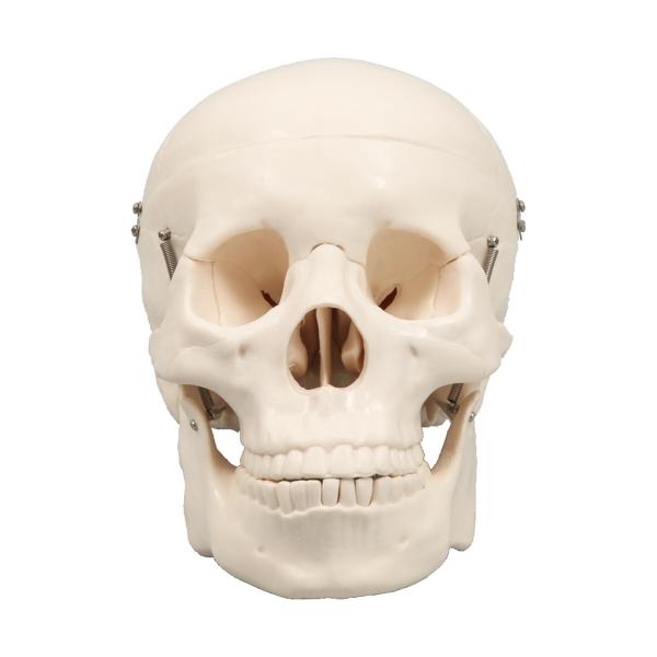 アーテック 頭蓋骨模型 9700