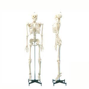 【人体模型】等身大骨格模型 可動タイプの等身大の人体全身骨格!- 178Cm【smtb-s】
