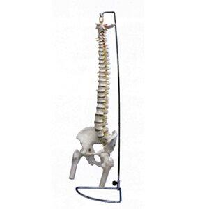 脊椎模型 大腿骨付 85cm(SR-452)【smtb-s】