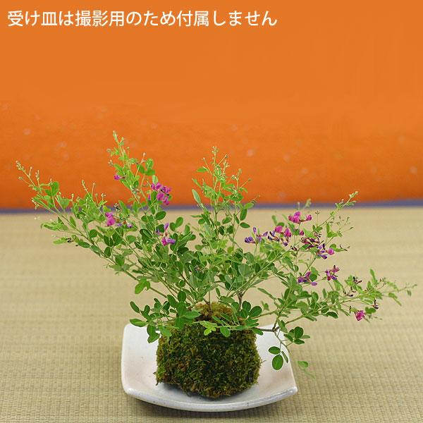 屋久島萩(ヤクシマハギ)苔玉盆栽