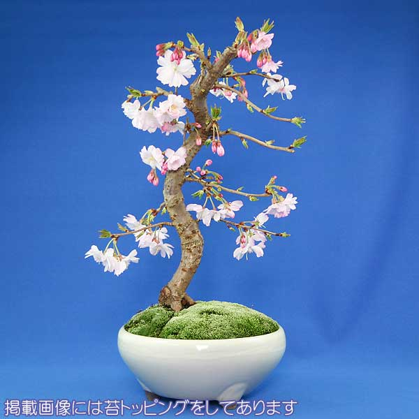 秋と春に開花する桜!ミニ盆栽より風格のあるサイズ 【敬老の日】十月桜 盆栽(本格盆栽仕立て)【秋と春に開花する品種】【送料無料】