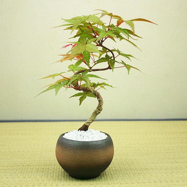 【敬老の日】出猩々(デショウジョウ)もみじミニ盆栽【挿し木】【送料無料】