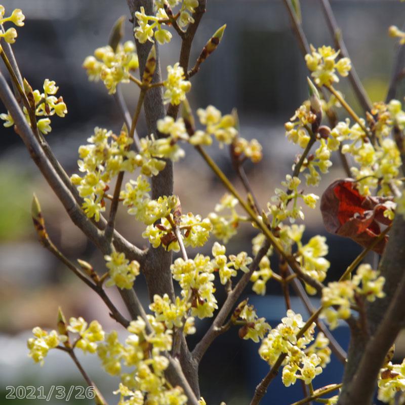 庭木 結婚祝い お好みの株を選べる シロモジ 根巻き 2020新作 高さ190cm前後 花木 送料無料 樹木 植木