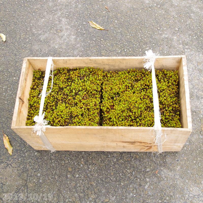 予約販売 庭園に貼るスギゴケ 杉苔 ウマスギゴケ リンゴ箱1箱 10枚入り 0.8平米 コケ 送料無料 メーカー公式ショップ 造園 水を好む苔 庭園用 夏半日陰の苔 定番