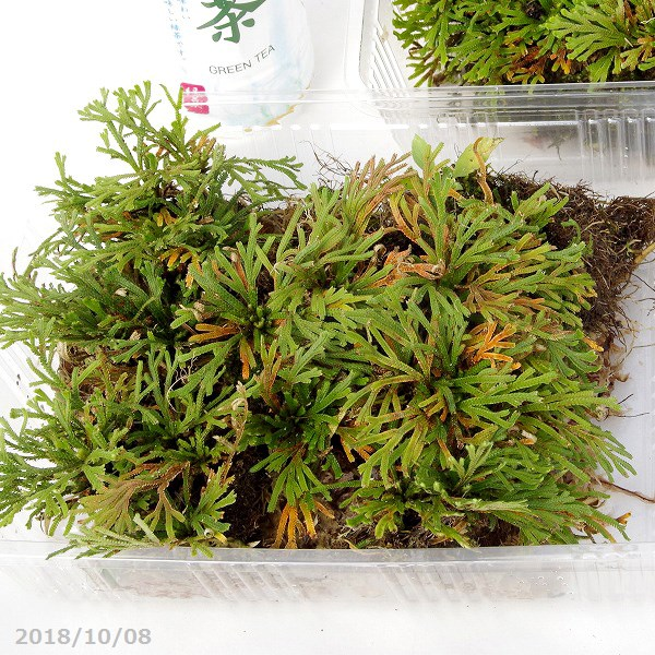 天然のイワヒバ B 大 L 四季の山野草 外径27.5cm×19.3cm 与え 新商品 新型 パック 夏半日陰のシダ植物