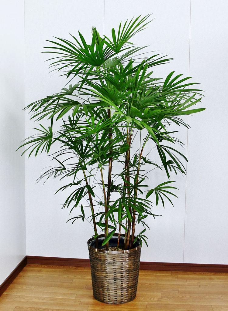 【送料無料】開店祝い 4万5千円 観葉植物 シュロチク12号陶器鉢(本体価格45,000円)