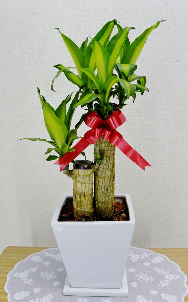 【送料無料】観葉植物 開店祝い1万5千円 幸福の木6号陶器鉢(本体価格15,000円)