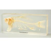 【夏休み 自由研究に!】魚の骨格標本(子供/小学生/中学生/研究/課題/宿題/理科/実験/通販)