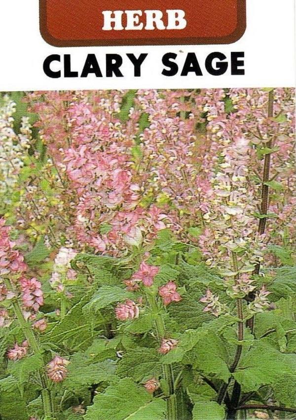 大規模セール 期間限定で特別価格 花壇にポプリにと大活躍の大型のハーブ 種子 藤田種子のタネ クラリーセージ
