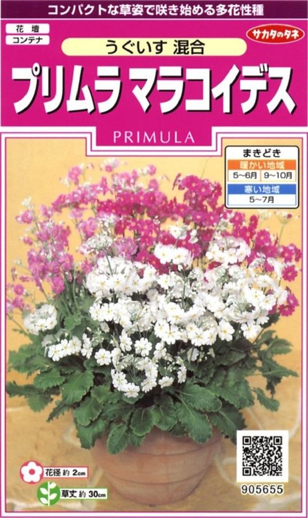花数が多く育てやすいプリムラ 種子 プリムラ 定番から日本未入荷 サカタのタネ うぐいす混合 最新アイテム マラコイデス