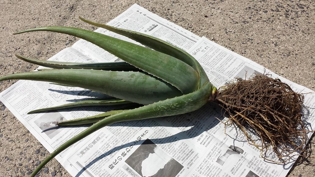 訳ありセール 物品 格安 家族の健康を徹底サポート アロエベラ苗木 サイズ:10号鉢サイズ 約2kg 約50cm 約2kg約50cm