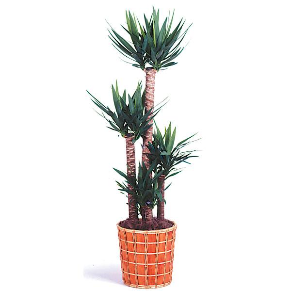 【観葉植物 ユッカ】観葉植物の中でも定番中の定番です!在庫を確認致します。まずは一度ご相談下さい。(GL-005)