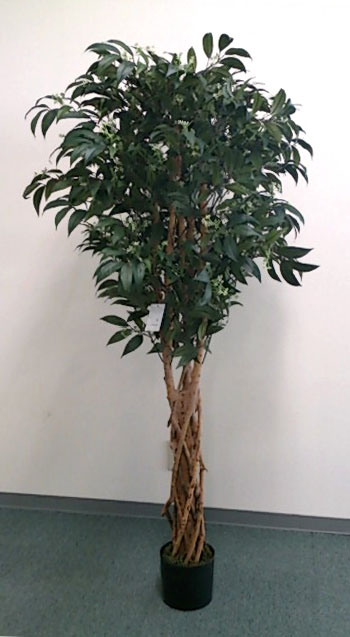 【ナチュラルツリー・観葉】150cmシキミアツリー(ナチュラルトランク)