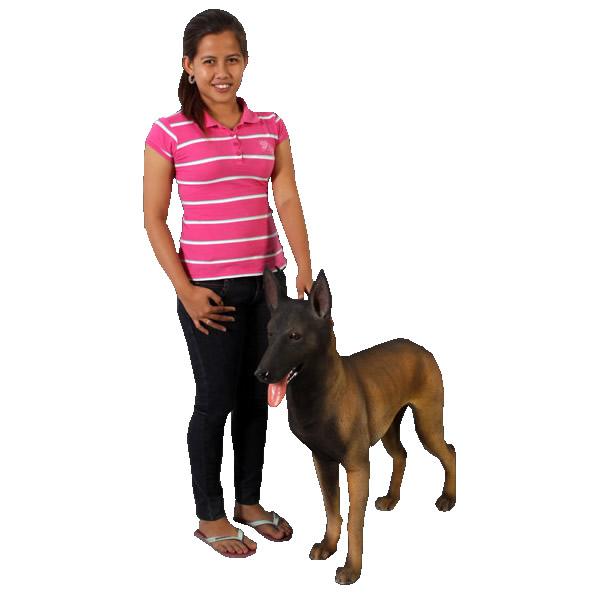 お取り寄せ期間1-2ヶ月ベルギー犬 / Belgian Malinois