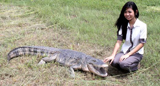 置物インテリア 動物爬虫類ワニ動物オブジェ アメリカ鰐の雄姿 / American Alligator 8ft.