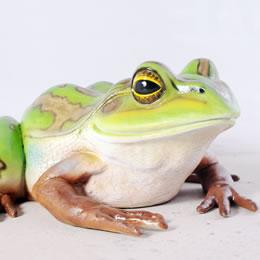 動物オブジェ 親キンスジアメガエル / Giant Green and Golden Bell Frog