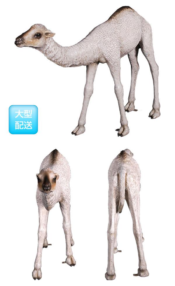 ひとコブラクダの赤ん坊 / Dromedary Camel Calf