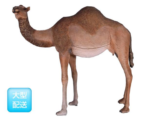 雄のひとコブラクダ / Dromedary Camel - Female
