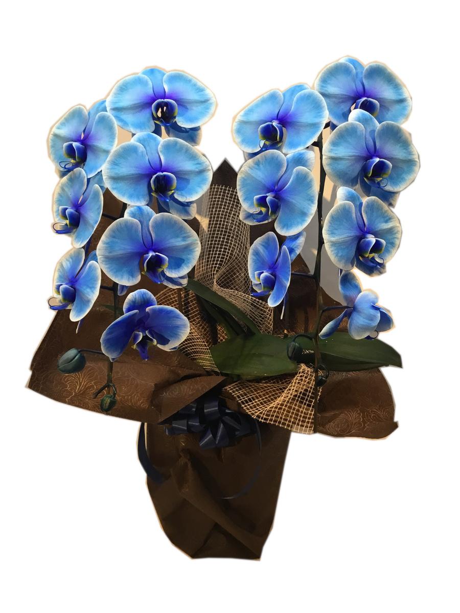 オシャレ こだわり ブルー 胡蝶蘭鉢 プレゼント 送料込みご予約販売 御祝 贈答 開花輪13~14輪【ファレノ ブルーエレガンス】
