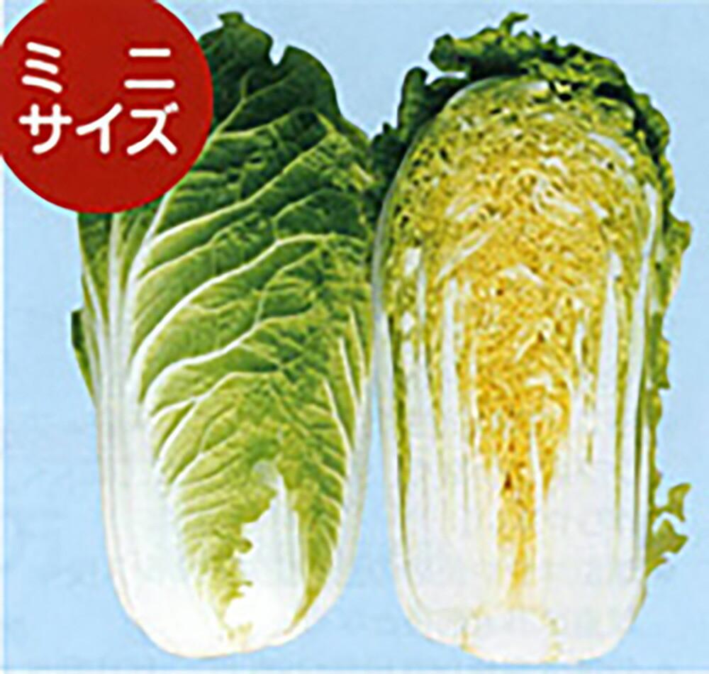 味よし 1kgサイズ 晩抽性で耐暑性が高く播種幅の広い黄芯系50日極早生種 球重は 株間に左右されにくく1~1.3kg めだか 20ml 卸直営 白菜 種 5のつく日はポイント10倍 はくさい 通常6倍 タネ たね ハクサイ 激安通販ショッピング ナント