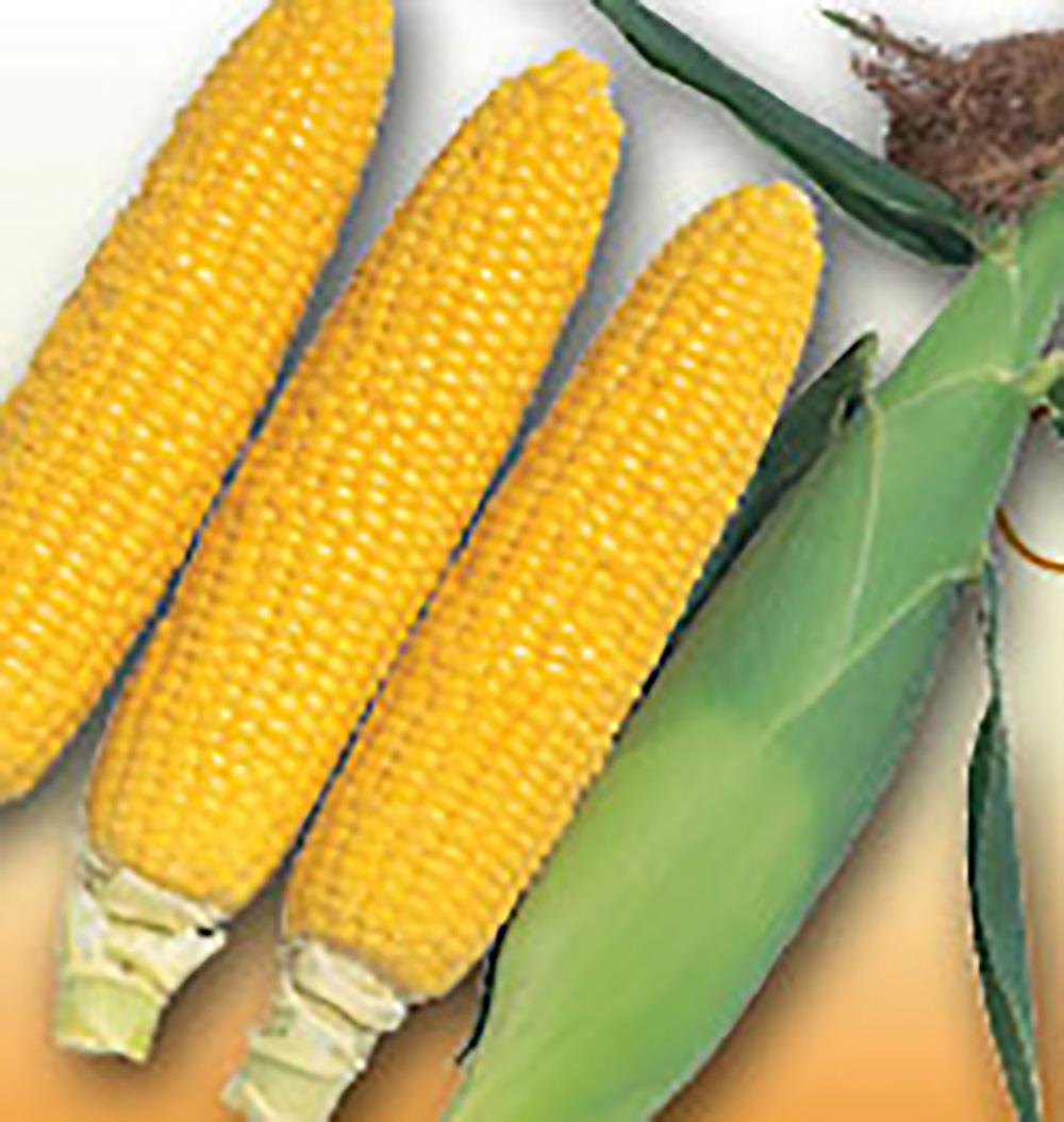 強風でも倒れない 売店 安心して栽培できる 熟期は90日の中晩生イエロー品種 フルーツのような香りが強く 食味がよい ゴールドラッシュ90 スイートコーン 2000粒 とうもろこし (人気激安) 一万円以上の購入で4%OFFクーポン トウモロコシ サカタ 5のつく日はポイント10倍 タネ たね 玉蜀黍 種 通常6倍