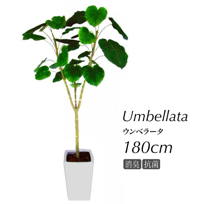 【フェイクグリーン 大型】ウンベラータ 180cm 鉢植【観葉植物 造花 CT触媒 光触媒 人工観葉植物 インテリア フェイク グリーン】