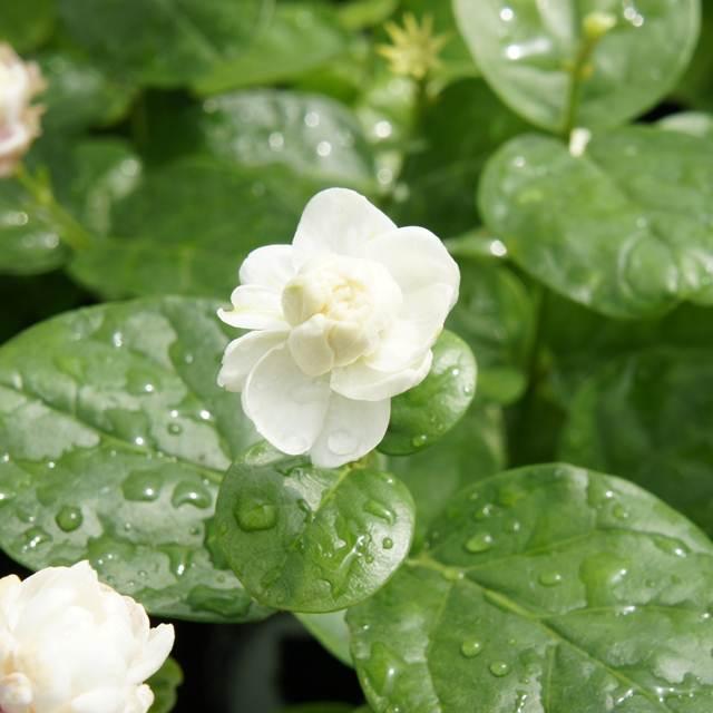 大規模セール あたりが甘い香りに包まれるぐらい香りが強い八重咲のジャスミン 注目ブランド ソケイ属 アラビアジャスミンマツリカジェイド3.5号ポット