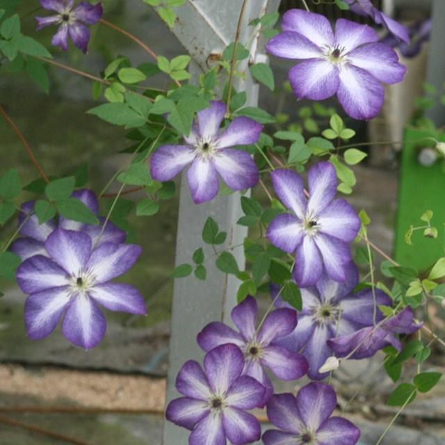 紫色地に白の刷毛目が入る 伸びたつるの節々に花をつけます 岐阜県東濃産 クレマチス属 ヴィチセラ系ベノサ 定番から日本未入荷 ヴェノサ バイオラシア 100%品質保証 3号ポット ヴィオラセア