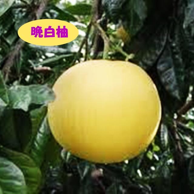 香りが良くシャリシャリな歯ざわり。 【その他柑橘系ミカン属】晩白柚(ばんぺいゆ)(接木苗)4号LLポット