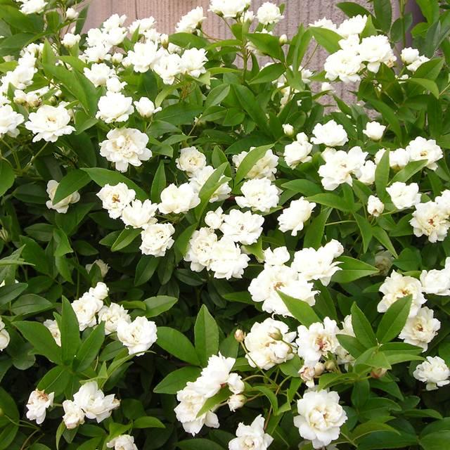 【バラ属】モッコウバラ八重咲きホワイト3.5号Lポット苗