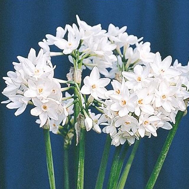 売買 早咲き白房水仙とも呼ばれる純白の房咲種 激安通販 予約球根 水仙 芳香ガリル 2球入