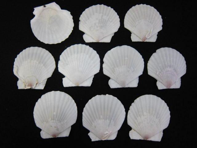 定番から日本未入荷 貝殻とヒトデの専門店 ■メール便可 ◆高品質 12袋まで ■ホタテガイB品 10枚 約5cm