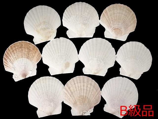 貝殻とヒトデの専門店 ホタテガイB品 18%OFF 約7cm 10枚 大人気