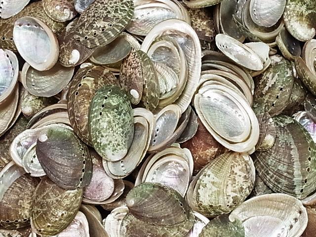 貝殻とヒトデの専門店 パルチャーム自然 約2.0~5.0cm 500g 貝 貝殻 シェル ハンドメイド ストラップ 海 ウェルカムボード 二枚貝 フレーム 2020春夏新作 ブライダル スーパーセール
