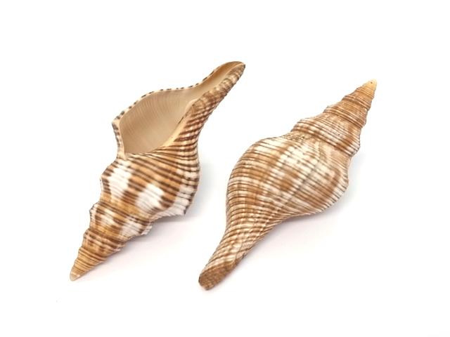 貝殻とヒトデの専門店 ナガイトマキボラ大 約8~9cm 2本入 貝 格安 貝殻 シェル ハンドメイド 巻貝 フォト アクセサリー コレクター 人気ショップが最安値挑戦 ヤドカリ