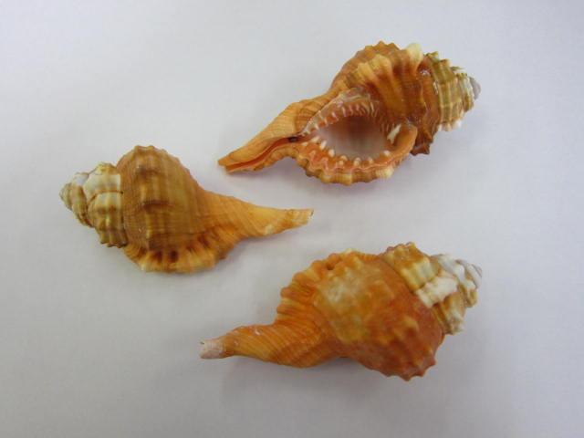 貝殻とヒトデの専門店 ニクイロフジツ [並行輸入品] 約7~9cm 3個入 貝 貝殻 シェル アクセサリー コレクター フォト 新作販売 ハンドメイド ヤドカリ 巻貝