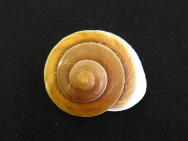 貝殻とヒトデの専門店 信憑 ラマルキアナ 自然 約7~8cm 1個 貝 貝殻 シェル 置物 デザイン コレクター 海辺 巻貝 無料 絵画 フォト