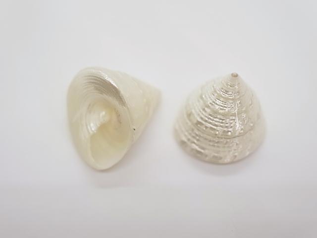 貝殻とヒトデの専門店 特選トルゴススティラトス磨き 約3~4cm 海外限定 5個入 貝 貝殻 [ギフト/プレゼント/ご褒美] シェル 巻貝 アクセサリー デザイン 磨き コレクター ホワイト フォト ブライダル 置物