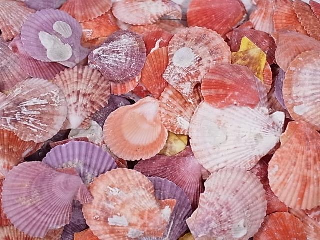貝殻とヒトデの専門店 ヒオウギガイ片面-大容量- 年末年始大決算 約4~6cm 約2kg 貝 貝殻 ブライダル 超激安特価 ウェルカムボード 二枚貝 ハンドメイド アクセサリー シェル