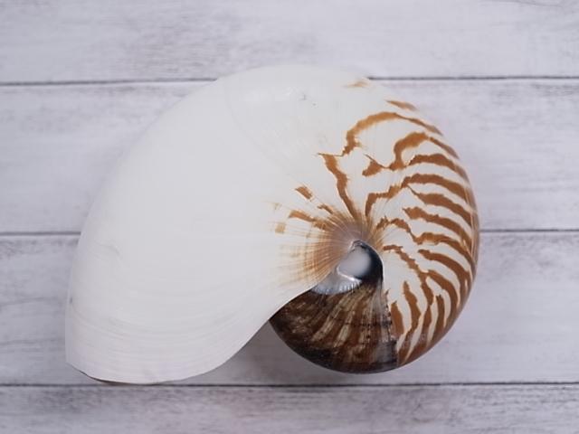 貝殻とヒトデの専門店 18%OFF オウムガイ自然 約18cm前後 1個 貝 貝殻 シェル 海辺 メーカー公式 オウムガイ デザイン 絵画 置物