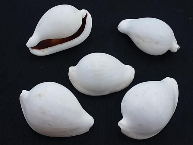 貝殻とヒトデの専門店 ウミウサギB品-小- 1個 約6~7cm いつでも送料無料 大特価