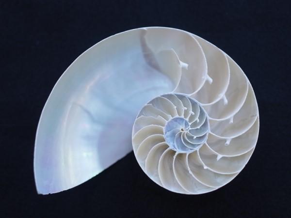貝殻とヒトデの専門店 オウムガイホワイト真珠磨きハーフカット-B品- 誕生日 お祝い 1個 約12~14cm オンライン限定商品