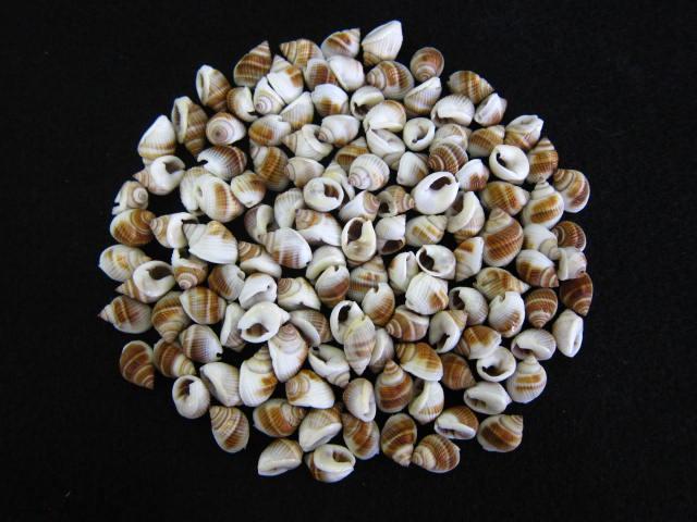 貝殻とヒトデの専門店 ■メール便可 4袋まで ■ナサリウスポリドス ブラウン 約1.0~1.5cm 100g 毎日激安特売で 営業中です 貝 シェル 貝殻 アクセサリー 小さな貝 ハンドメイド 値引き デザイン フォトフレーム