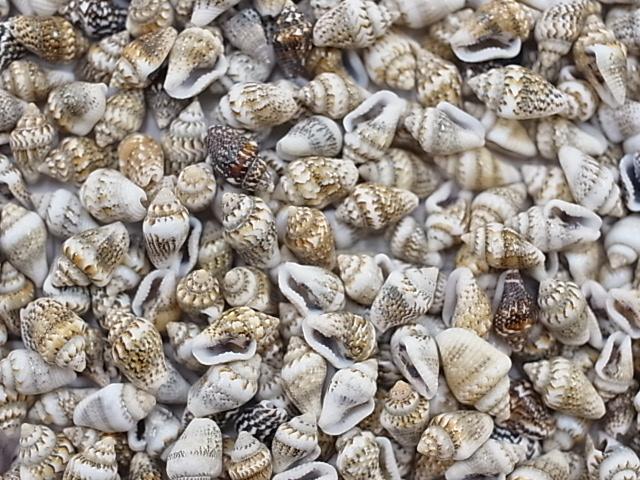 貝殻とヒトデの専門店 ■メール便可 1袋まで ■ナサシェル 約1.0~1.5cm 500g 貝 アクセサリー 貝殻 ハンドメイド 流行 デザイン 小さな貝 シェル フォトフレーム 安い 激安 プチプラ 高品質