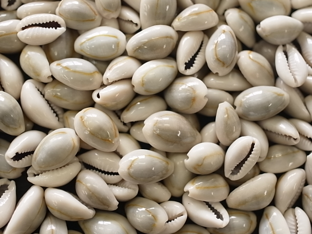 貝殻とヒトデの専門店 ■メール便可 1袋まで 買収 ■ハナビラダカラ 1.0~2.0 cm程度 500g 貝 ウェルカムボード 貝殻 小さな貝 タカラガイ ハンドメイド セール特価 シェル ブライダル キャンドル